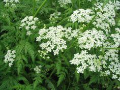 koiranputki Forest Flowers, Wild Flowers, Ferns, Finland, Planting Flowers, Beautiful Flowers, Flora, Nature, Plants