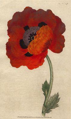 Poppy, Oriental, circa 1788