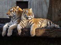 Tigers 3 | I love tigers. | Martin L | Flickr