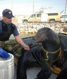 In 2003, Zak, a 375-pound California sea lion, was trained by the Navy to find swimmers near piers and ships or objects that were considered suspicious or a threat. Animals in Zak's program were all trained at the Navy's Marine Mammal Program in San Diego. Sea lions like Zak love action and having a purpose. They can even cuff a potential waterborne intruder!