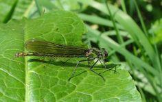 A female Banded Demoiselle, from Attingham Park Warden's Blog.