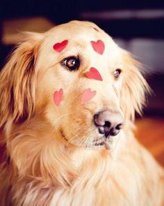 Golden Retriever Valentine Puppy Dog Dogs Puppies Valentine's Day