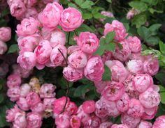 rosiers anciens   b1. Les rosiers anciens - plaisir-jardin.com