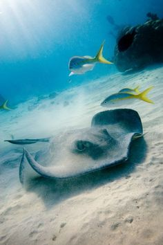 Stingrays live on the bottom of the sea. But will eat fish that swim under them or the dead remains of fish or other animals.