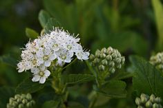 Ninebark (Physocarpus opulifolius) is a native shrub that produces clusters of white flowers in late spring. The stem bark peels into sheets of various colors ranging from reddish brown to light brown which provide winter interest. Photo taken by Lane Richter