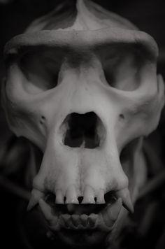 Gray | Grey | Gris | グレー | Grigio | серый | Gurē | Colour | Texture | Pattern | Style | Design | Gorilla skull by Pat Charles on 500px