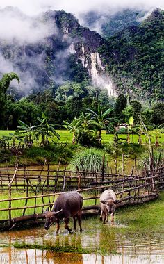 Water buffalo near a rice field at Tham Lot Khong Lo, Laos. Laos Travel, Vietnam Travel, Asia Travel, Wanderlust Travel, Village Photography, Nature Photography, Beautiful World, Beautiful Places, Horses