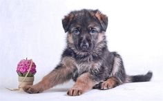 Download wallpapers German Shepherd Dog, puppy, small dog, cute animals, dogs