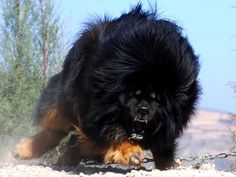"""10 cool qualities of a Tibetan mastiff """"they have nice teeth"""" lol.... They are the worlds most expensive dog."""