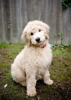 Goldendoodle information including pictures, training, behavior, and care of Goldendoodles and dog breed mixes.