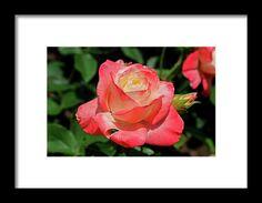 rose, orange, flower, nature, bloom, interior design, michiale, schneider, photography