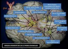 nervios craneales encefalo - Buscar con Google