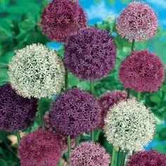 Giant Allium Blend Flower seeds