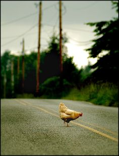 After two years of extensive research I have finally and definitively discovered the real reason why the chicken crosses the road. It is, in fact, to traverse the asphalt and explore other areas unknown to said chicken.-Edbob