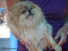 This little dog was NOT impressed with getting wet! lol