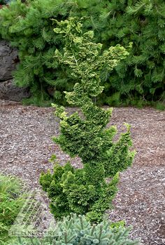 Chamaecyparis obtusa 'Thoweil'hinoki cypress. Slow growing shade tolerant tree, gets up to 6' tall and 2' wide, unless you have the dwarf variety.