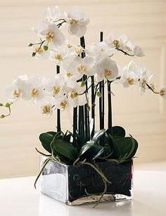Enjoy the breathtaking beauty and elegance of orchids without the worry of caring for it with the Phalaenopsis Orchid In Square Glass that serves as a beautiful centerpiece atop your dining table.