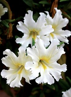 Points You Should Know Prior To Obtaining Bouquets Mimulus Bifidus 'White' Beautiful Flowers Pictures, Flower Pictures, Amazing Flowers, Butterfly Flowers, All Flowers, Pretty Flowers, White Lily Flower, White Flowers, Garden Trees