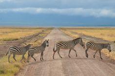 Zebra Crossing - Ngorongoro Crater, Tanzania