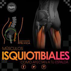 ¿Cómo afectan los isquiotibiales a tu espalda? Antes comentar sobre los músculos isquiotibiales, explicaremos brevemente que son y donde están. Los isquiotibiales son esos músculos que se extienden por la cara posterior de los muslos, desde la pelvis hasta por debajo de las rodillas. Están formados por: bícep femoral o crural, el semitendinoso y el semimembranoso y se sitúan en la cara interna de la tibia y facilitan la flexión y rotación de la articulación de la rodilla y la cadera.