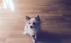 Lilo #chihuahua #pet #animals #little #dog #smallpet #smalldog #love #lovely #animales #perro #mascota #razapequeña #amor