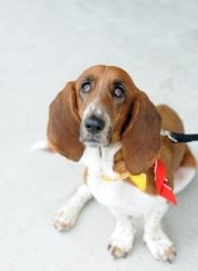 Bella is an adoptable Basset Hound Dog in Carrollton, TX. You can fill out an adoption application online on our official website. BELLA NEEDS A FOSTER HOME May I have this dance? They say I'm the bel...