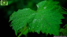 Leaf Of Life - http://wallsfield.com/leaf-of-life-hd-wallpapers/