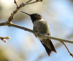 Ruby Throated Hummingbird: 26 April 2014, Wicomico Church, VA (Sandy Point), 70 degrees, sunny, slight breeze