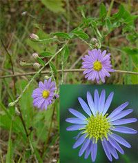 Late asters (Aster patens) (Spreading Aster)