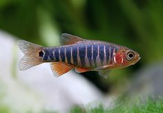 Microrasbora Erythromicron (male in spawning).. small fish community, 20 mm, need larger tank due to males' competitiveness, shoal of 20 or more are recommended,Freshwater.. http://www.seriouslyfish.com/