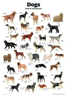 Dogs - Pastoral working. Cani - da lavore e pastore.