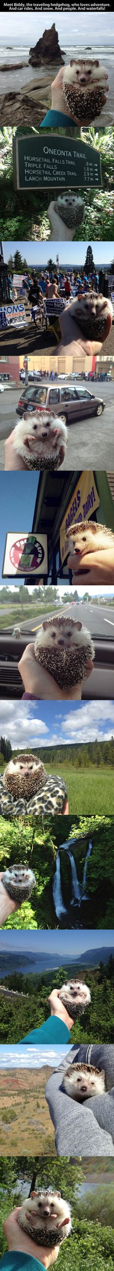 Meet Biddy, the traveling hedghog, who loves to adventure…