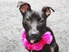 Manhattan Center CHLOE – A1025922 ***RETURNED 06/05/15*** SPAYED FEMALE, BLACK, AM PIT BULL TER / LABRADOR RETR, 7 mos RETURN – EVALUATE, HOLD FOR ID Reason ALLERGIES Intake condition EXAM REQ Intake Date 06/05/2015