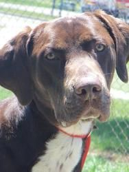 Mater is an adoptable German Shorthaired Pointer Dog in Angola, IN. Thank you for your interest in adopting this great pet! Mater is a beautiful young boy who seems to have a great disposition.  He ne...