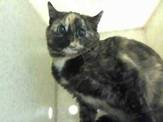 NYC ** Scared Tortie Kitten **TO BE DESTROYED 03/05/15 MELLY. Beautiful Melly is a scared kitten. Give her some time patience and space and she will be your best companion. Please. NH> ID #A1028860. Spayed female brown & tortie about 5 MONTHS old STRAY https://www.facebook.com/nycurgentcats/photos/a.964535466897774.1073742614.220724831278845/964535510231103/?type=3&theater