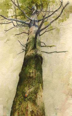 wetreesinart:  Rob Piercy (1960-….), Douglas Fir. Y Gwyllt, Portmeirion, Watercolour33cm x 52cm