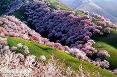 Apple tree Forest - Almaty