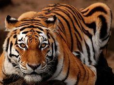 Tigre-siberiano ('Panthera tigris altaica')
