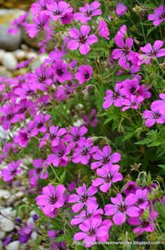 Mon Jardin Mes Merveilles: Geranium 'Patricia'