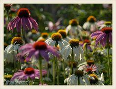 Garten Tapir- echinacea saemlinge 2013-07 | Flickr - Photo Sharing!