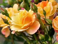 How to Plant a Potted Rose into a Garden Bed