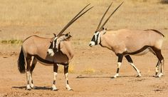 Learn how these gemsbok can live without any water and many more interesting African animal facts.