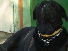 Labrador Retriever, Pitbulls, Dogs, Animals, Professor, Labrador Retrievers, Animais, Animales, Animaux