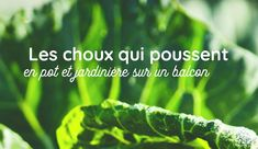Mon Petit Balcon - Jardinier urbain are you radis Rotation Des Cultures, Le Chou Kale, Pots, Herbs, Cabbage, Cooking Kale, Growing Flowers, Green Leaves, Backyard Farming