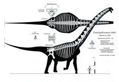 The third version of my Futalognkosaurus dukei skeletal. Changes here are pretty basic, some re-measurement of certain bones, adding some previously missed details to the neck, and also re-sizing t...