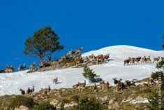 Mais où est Charlie?  Pyrénées - Novembre 2017 Rut du mouflon  NIKON D800 + NIKON 500mm f/4G AF-S ED VR 500mm, f/4, 1/1600s, 200iso RAW + Lightroom v5  #pyrenees #mouflon