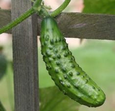 Cucumbers are sweeter when you plant them with sunflowers, but don't plant them with watermelons! It ruins the taste of the melons.  Lots of other gardening tips on this blog!