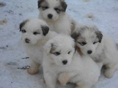 for sale, Taking deposits now on purebred Great Pyrenees Livestock Guardian Dogs (LGDs). Americanlisted has classifieds in Ludington, Michigan for dogs and cats. Kennel hounds, dogs and all kinds of cats Pyrenees Puppies, Great Pyrenees Puppy, Pets For Sale, Puppies For Sale, Top Dog Breeds, White Dogs, Dog Show, Mountain Dogs, Family Dogs