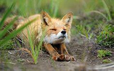 http://www.catdumb.com/22-fox-baby/