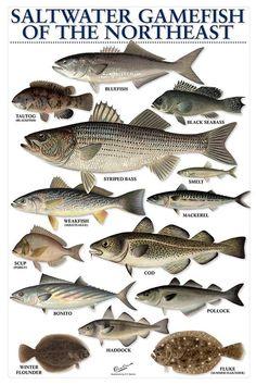 Salt water catch Nor Salt water catch Northeast Sport Fishing, Gone Fishing, Best Fishing, Kayak Fishing, Fishing Tips, Fishing Chair, Walleye Fishing, Fishing Stuff, Carp Fishing